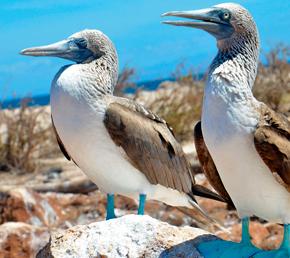 Seymour norte piqueros en las Islas Galápagos