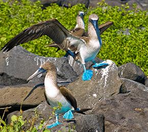 North Seymour Galapagos Islands Blue-Footed Booby ATC Cruises Galapagos Islands Ecuador