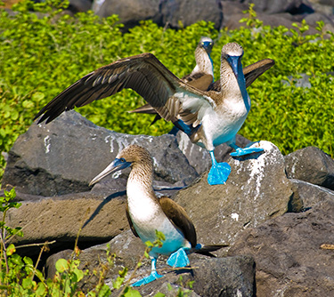 wildlife galapagos islands blue footed booby ATC Cruises Galapagos Islands Ecuador