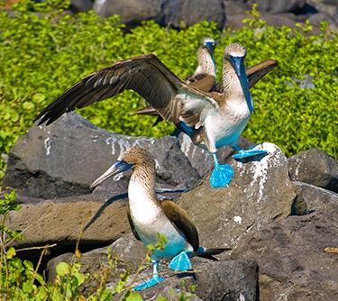 wildlife galapagos islands blue footed booby ATC Cruises Galapagos Islands Ecuador